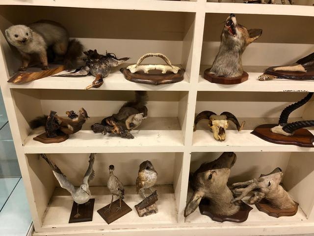Taxidermie d'oiseaux et animaux courant.